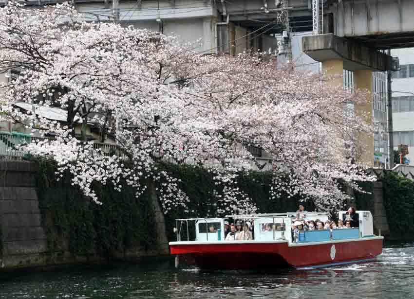 桜クルーズ
